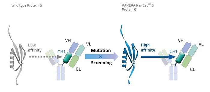 KANEKA,KanCapG,カネカ,プロテインG,protein G