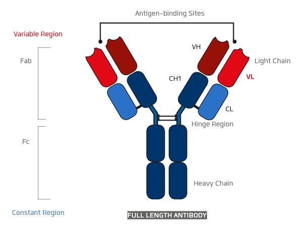 抗体、KANEKA,KanCapL,カネカ,プロテインL,protein L